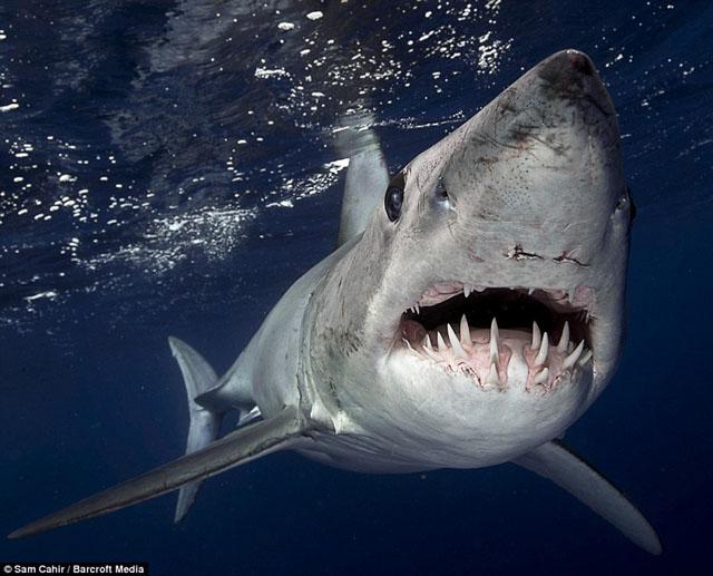 requin tapue bleu ou requin mako