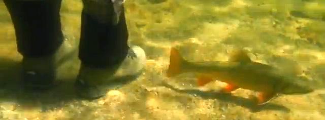 truite au pied du pêcheur