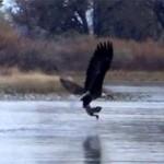 un aigle mange un canard