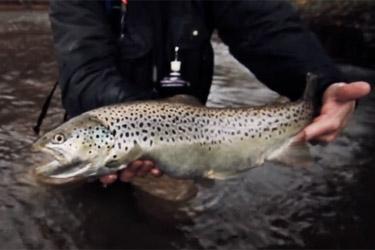 pêche no-kill de la truite fario