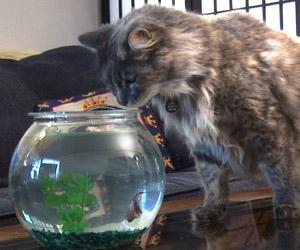 le chat veut voler un poisson dans l'aquarium