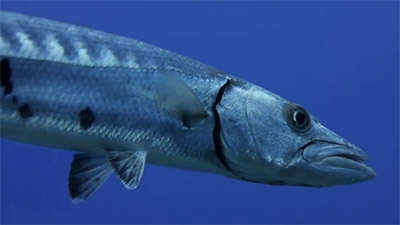 photo barracuda
