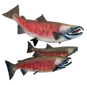 saumon argenté