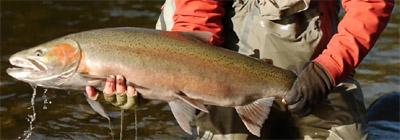 steelhead trout montana