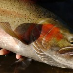 steelhead catch and release