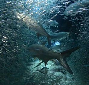 tarpons chassent poisson fourrage