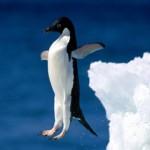 Pingouin qui tombe