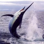 Pêche du marlin en Australie
