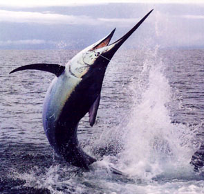 marlin bleu saute hors de l'eau