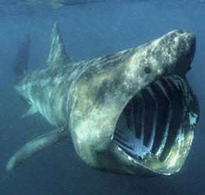 requin inoffensif