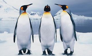 chute pingouin