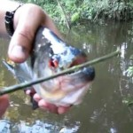 piranha ciseau