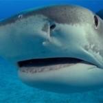 Plongée avec des requins tigres