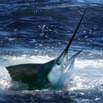 Le poisson le plus rapide du monde