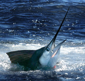 sailfish poisson le plus rapide