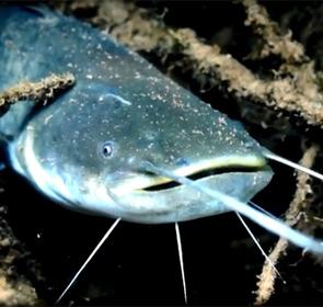 poisson silure