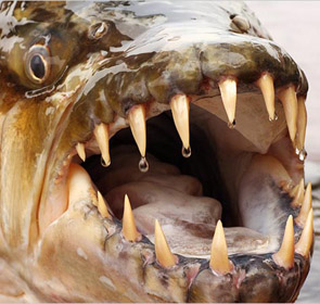 tigerfish goliath dents