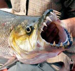 mâchoire de poisson-tigre