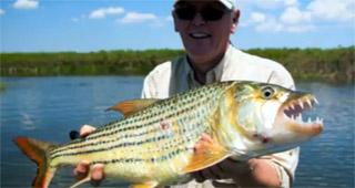 poisson tigre okavango