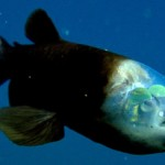 Le poisson Barreleye