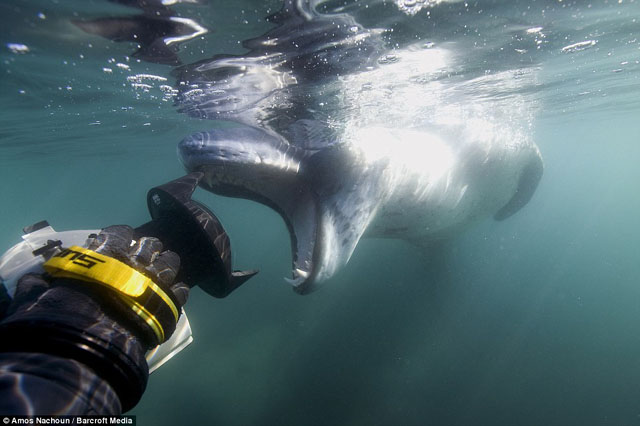 leopard de mer attaque photographe