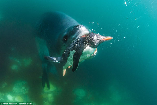 leopard de mer mange pingouin