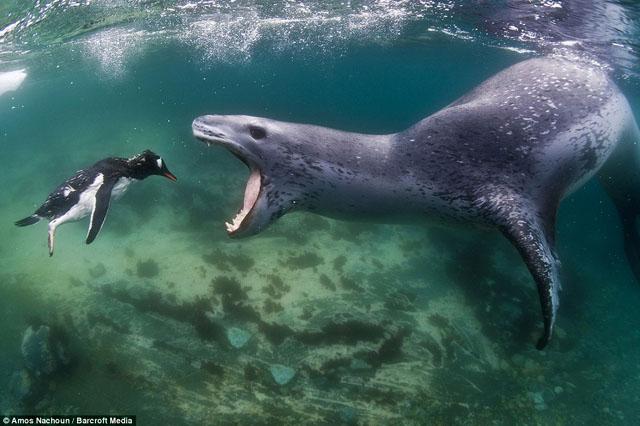 leopard de mer attaque pingouin
