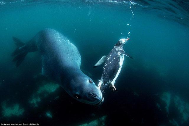 lepoard de mer manchot
