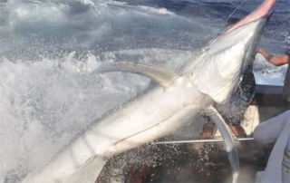 marlin 600 lbs jumps into boat