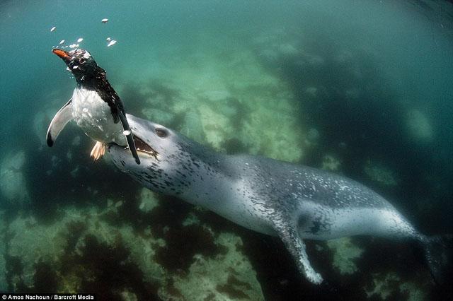 phoque leopard