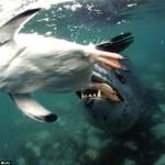 Un léopard de mer mange un pingouin