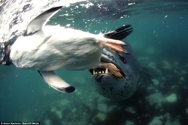 pingouin leopard de mer