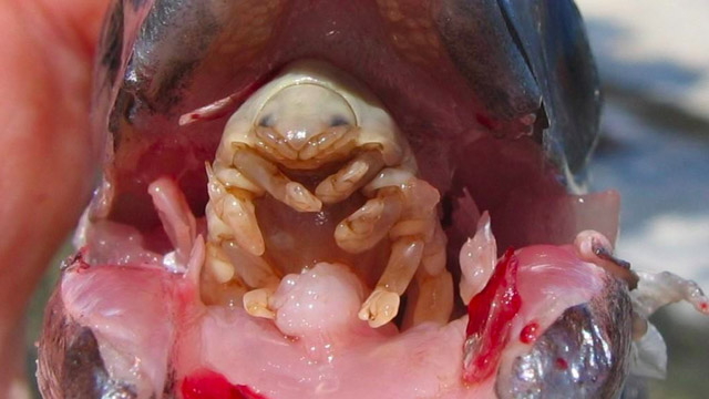 Cymothoa-Exigua-parasite-mange-langue