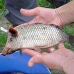 Du poisson-cochon dans nos assiettes ?