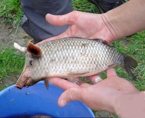 poisson cochon