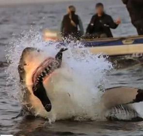requin attaque