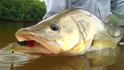 snook pêche mouche