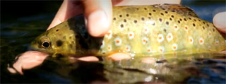 brown trout brittany
