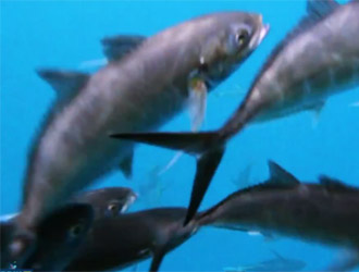 yellowfin tunas
