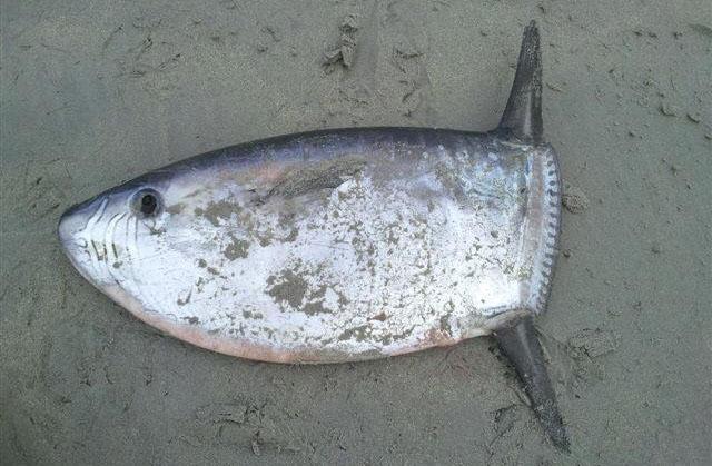 Slender Sunfish poisson sans queue