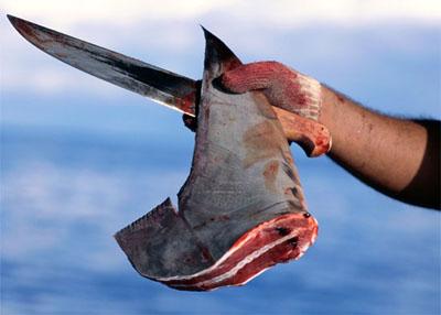 prélèvement aileron requin
