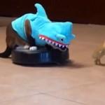 Chat déguisé en requin sur un aspirateur robot poursuit un canard