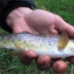 Culture fish 26