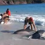 30 dauphins échoués sauvés par des baigneurs