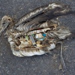 albatross pollution