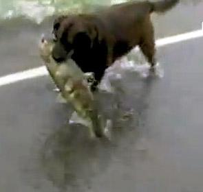 un chien pêche un  saumon