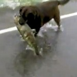 A Dog Catches a Salmon