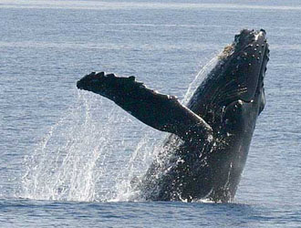 humpback whales jump off water