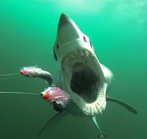 mâchoire de requin mako