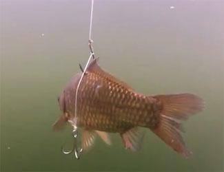 vif pour pêche silure